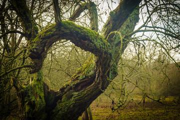 Sich windender alter Baum