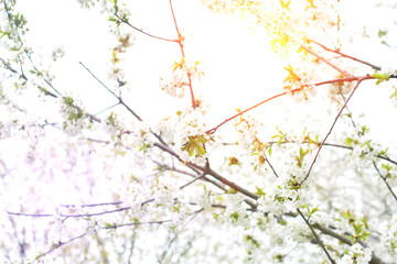 Cherry tree blooms and sun in background of blurred branches, early spring white flowers