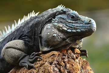 The blue iguana (Cyclura lewisi), also known as the Grand Cayman iguana, Grand Cayman blue iguana or Cayman Island blue iguana