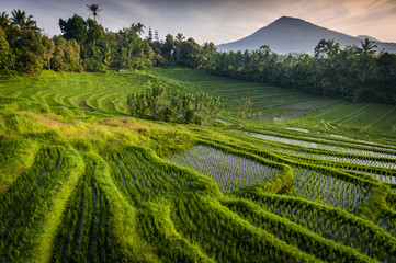 Bali Rice Fields. Bali is known for its beautiful and dramatic rice terraces. The graphic lines and verdant green fields are a vision to behold. Some of the fields are hundreds of years old.