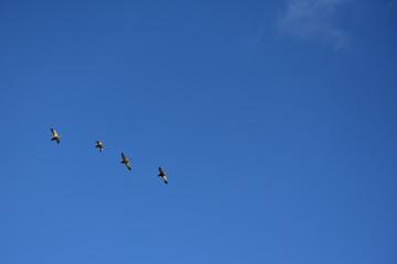 青空を飛ぶカモ