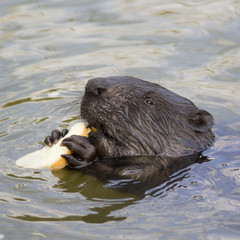 The beaver eats a piece of bread