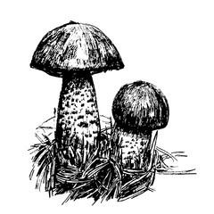 drawing two boletus mushroom sketch graphics hand drawn ink vector illustration