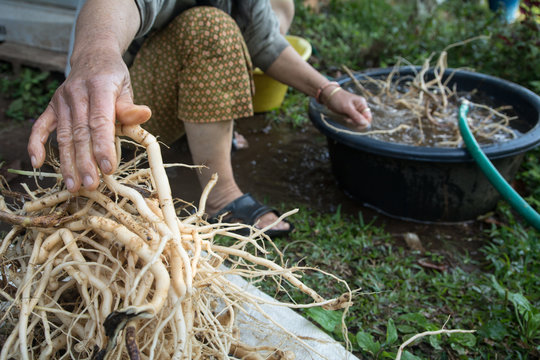 Herb roots (washing roots)