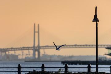 朝焼けのベイブリッジを背景に飛ぶ鳩
