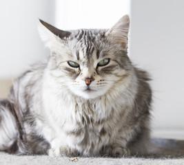 beauty silver cat of siberian breed lying in the garden