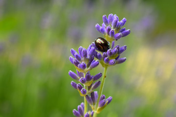 Chrysolina americana - Rosemary beetle on lavender