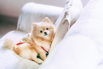 Cute pomeranian dog resting on sofa