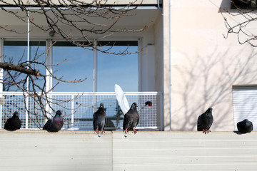 Pigeons on a wall, in the city. Selective focus.