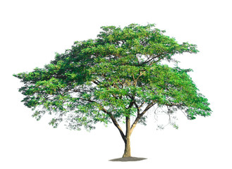 tree on white background of Isolated