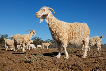 Angora goats on a rural African free-range farm.