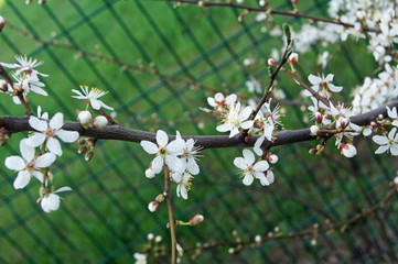 symbol of spring- cherry blossom