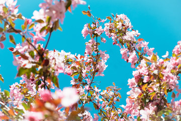 Beautiful apple tree branch blooming with pink flowers at blue sky view. Soft nature background of spring cherry blossom and warm sunny sky