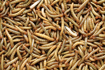 fresh mealworms food for animals