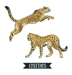 Vector illustration with Leopard or cheetah. Jumping animal. Hand drawn objects isolated on the white background.