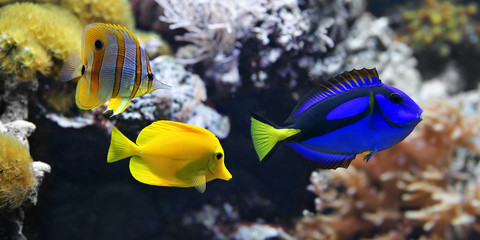 Sea fish, Blue tang (Paracanthurus hepatus), Copperband Butterflyfish (Chelmon rostratus) and Yellow tang (Zebrasoma flavescens).