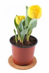 Tulips in a flowerpot
