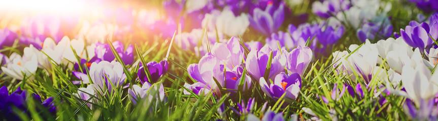 Foto op Aluminium Krokussen Frühlingserwachen - lila blühende Krokusse in der Morgensonne, Banner