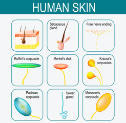 Elements of the human skin. Set icons