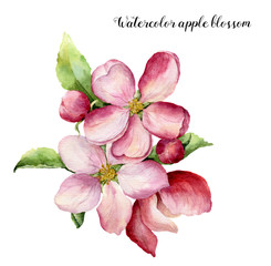 Watercolor apple blossom. Hand painted floral botanical illustration isolated on white background. Pink flower for design, print or fabric.