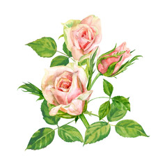 Group of roses, pink flowers and bud, green leaves on white background, hand draw watercolor painting, botanical illustration, vintage