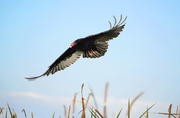 American Turkey Vulture in-flight - Florida.
