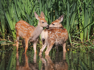 twin fawns nuzzling each other in a pond surrounded by reeds at