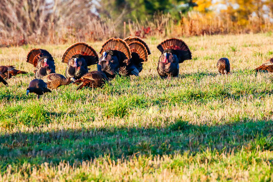 Six wild turkeys with their tail feathers spread during the Wisconsin fall.