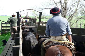 Trabajos en los corrales con Hacienda Aberdeen Angus, Pcia de Buenos Aires, Argentina