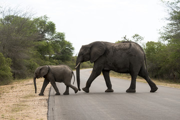 Éléphant d'Afrique, Loxodonta africana, Parc national Kruger, Afrique du Sud