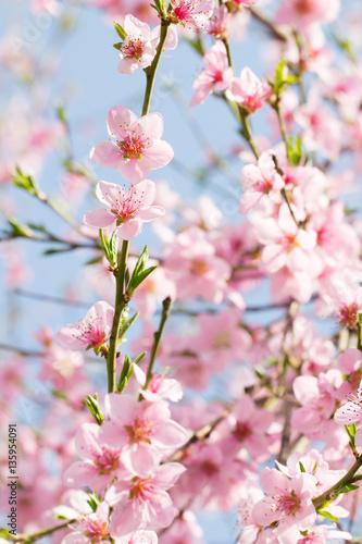 Beauty of pink soft flower on spring cherry tree branch stockfoto 39 s en rechtenvrije - Romanian cherry tree varieties ...