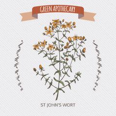 Common Saint John wort color hand drawn sketch