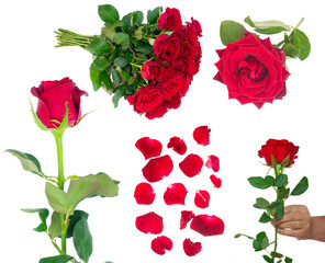 set with frsh dark red rose flowers and petals isolated on white background