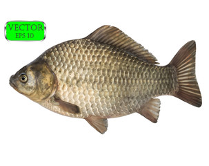 Fresh raw fish crucian carp isolated on white background. Vector