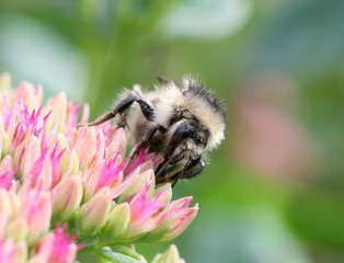 small striped bee sitting on pink flowers and collects nectar