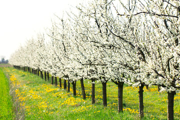 White spring blossom plum tree orchard and green meadow