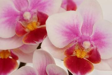 Farbe der Orchideen