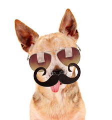 a cute chihuahua with a sunglasses on and a mustache in front of white background