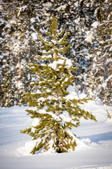 Forest and lone pine in the Idaho winter