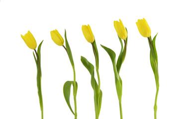 Frühlingsblumen Tulpen auf Weiß
