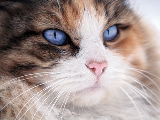 Cat with blue eyes close up