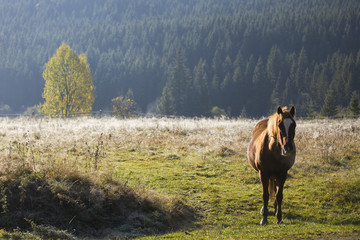 Lonely brown horse in Carpathian mountains