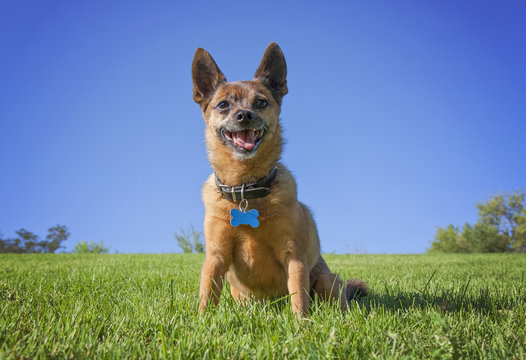 a tiny chihuahua pug mix on a green grassy hill smiling against