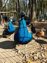 Running peacocks