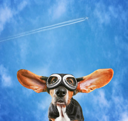 a basset hound wearing pilot goggles with his ears flying away l
