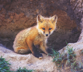 a baby red fox near a den toned with a vintage retro instagram