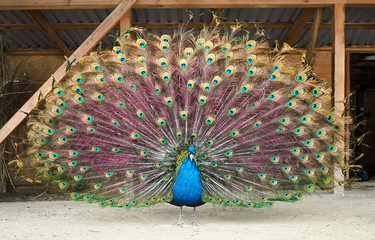 Peacock shows his beautiful tail view and looking at camera