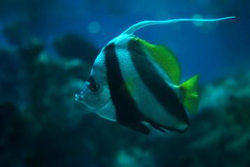Fish Heniochus acuminatus at the deep ocean