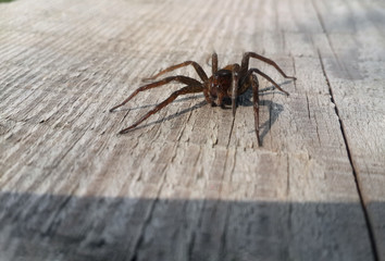 Brown spider at the wood