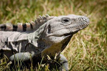 Mexican iguana in Chichen Itza, Yucatan